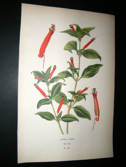 Step 1897 Antique Botanical Print. Cuphea Ignea | Albion Prints